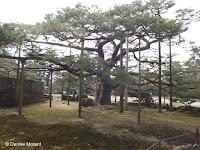 The most supported tree - Kenroku-en Garden, Kanazawa, Japan