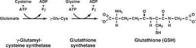 Glutathione formation
