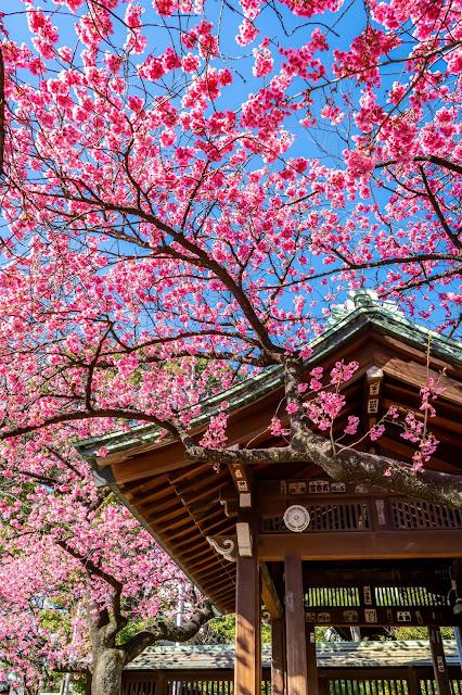 神社,桜,寒緋桜