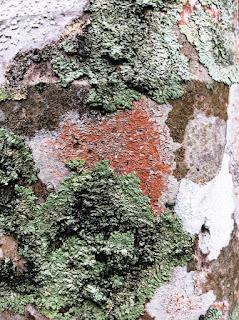 lichens sur stipe de palmier 3