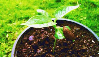 When to plant persimmon tree