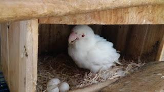 Telur Lovebird Disembunyikan