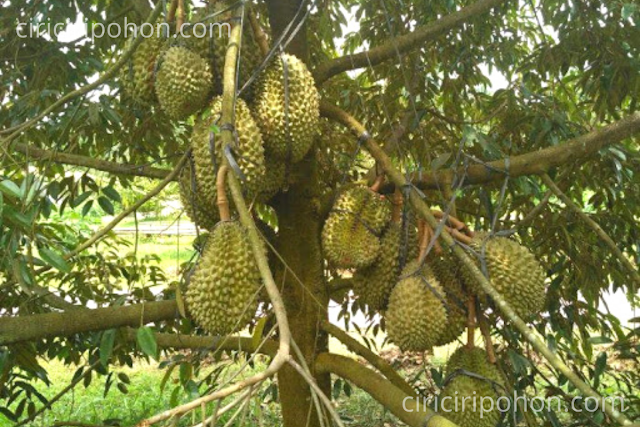 Ciri Ciri Pohon Pupuk NPK Pada Pohon Durian