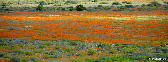 A Carpet of Flowers - Namaqualand