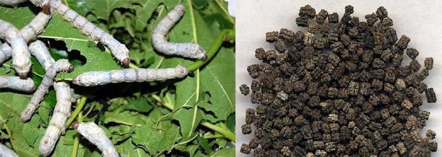 TÀM SA - Faeces Bombycum hoặc Exerementum Bombycis - Nguyên liệu làm Thuốc nguồn gốc động vật