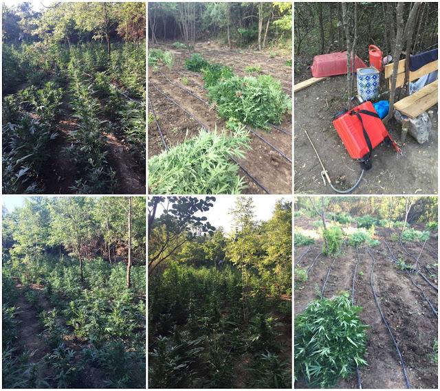 Εντοπίστηκε φυτεία 3.191 δενδρυλλίων κάνναβης
