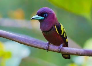 Sempur hujan rimba atau Banded Broadbill (Eurylaimus javanicus) adalah jenis burung kicau yang berukuran besar
