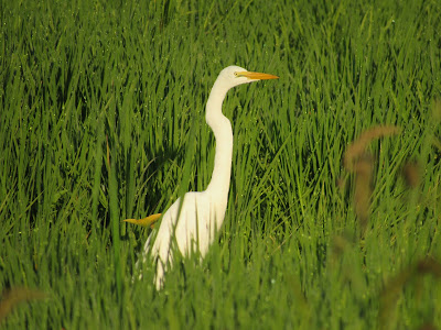 great egret bird photography birding birdwatching