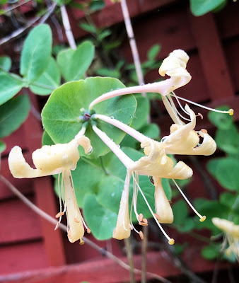 Tuoksuköynnöskuusaman keijukaismaiset kukat