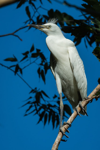 Juvenile Cattle Egret, UT Southwestern Medical Center Rookery