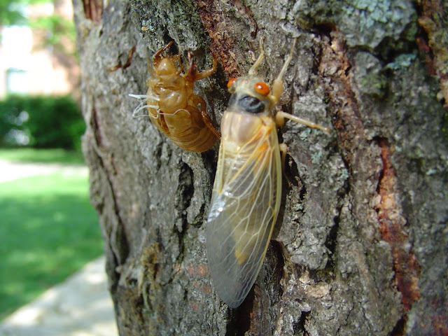 Adult cicada emerging still white while it is drying out