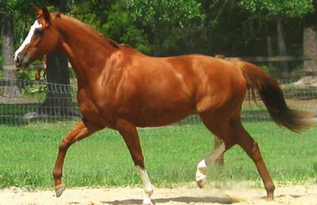 Thoroughbred Horse Breed