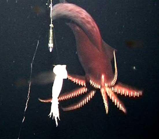 Marine Sea Creatures King Of Herrings