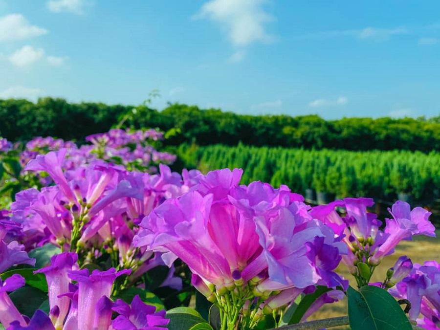 Vườn hoa Lan Tỏi Tím tại Làng Hoa Sa Đéc