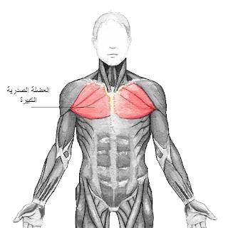 العضلة الصدرية الكبيرة