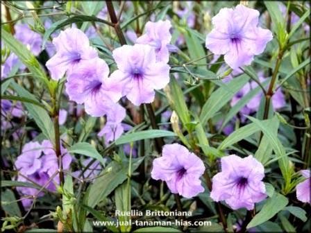 Ruellia brittoniana Tanaman Hias
