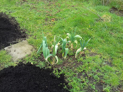 Allotment Growing - Leeks