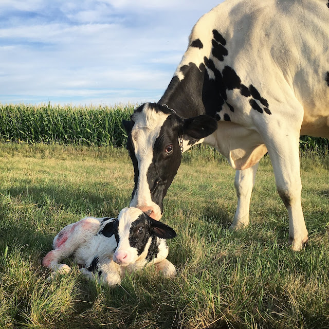 Wink and her bull calf