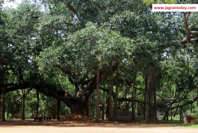 दुनिया का सबसे चौड़ा वृक्ष