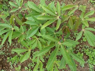 Manihot esculenta - Manioc
