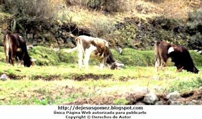 Foto de vacas comiendo en la sierra de Huaral por Jesus Gómez