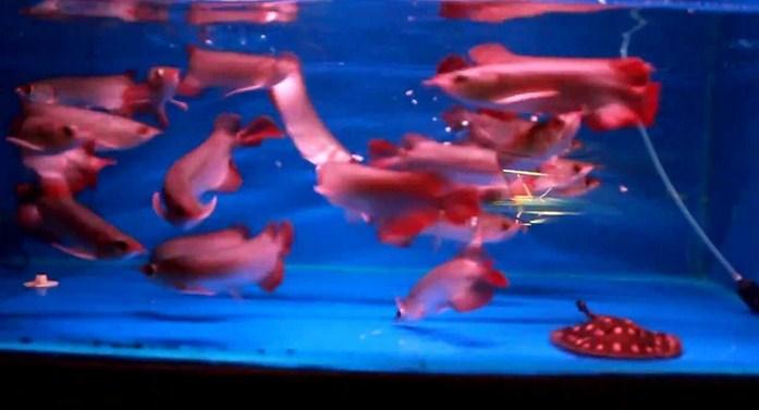 Ini Dia Harga Anakan Ikan Arwana Super Red