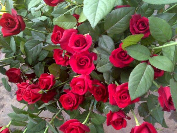 What Is Voodoo >> Agronas Farm Fresh Rose