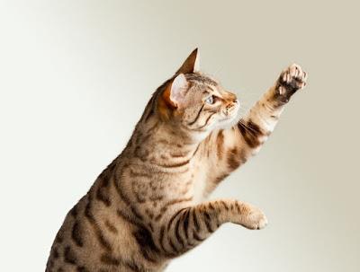 Sejarah Kucing Cheetoh