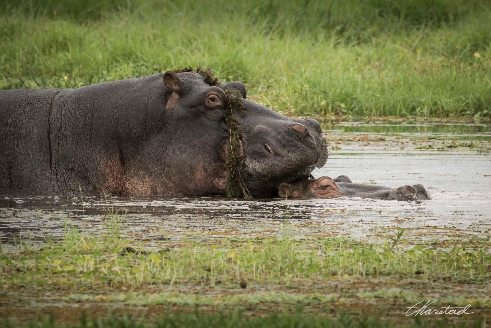 Hippo Sex 58