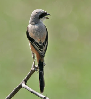 Burung Cendet - Tips Cara Melatih Mental Burung Cendet Agar Siap Lomba - Penangkaran Burung Cendet