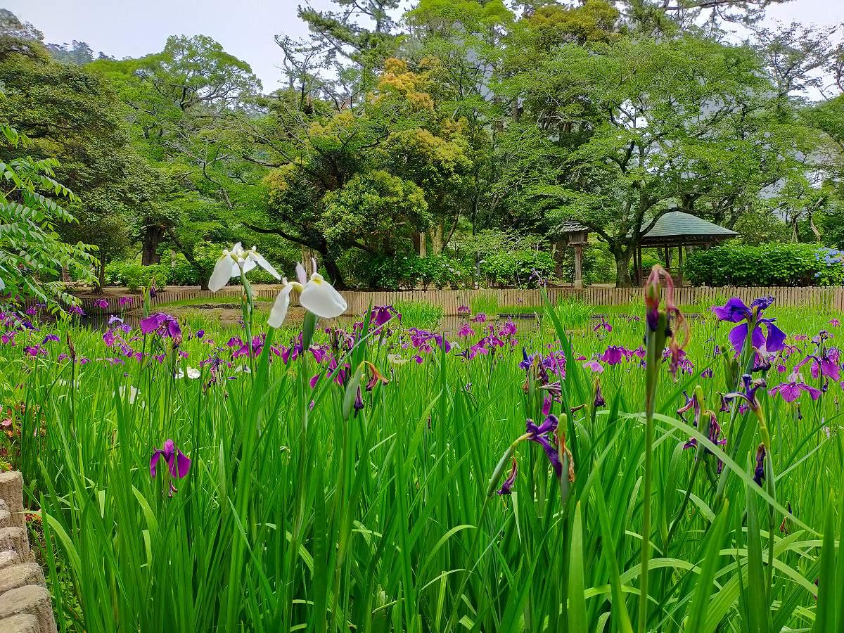 咲き誇る菖蒲の花。
