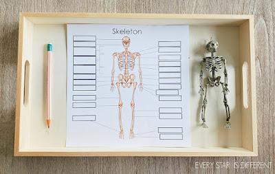 Skeleton Bone Labeling Activity