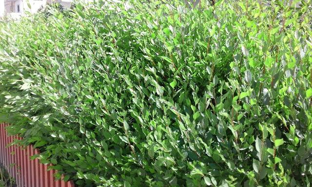Ulmus pumila celer