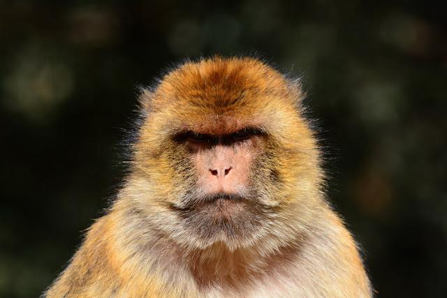 Macaque de Barbarie (Macaca sylvanus)