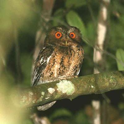 Celepuk jawa Burung Hantu Terancam Punah
