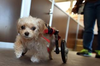 exercícios para cães cadeirantes
