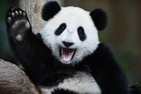 Los pandas gigantes