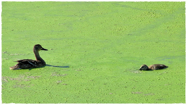Ducks plow through the matt of algae on Swan Lake...
