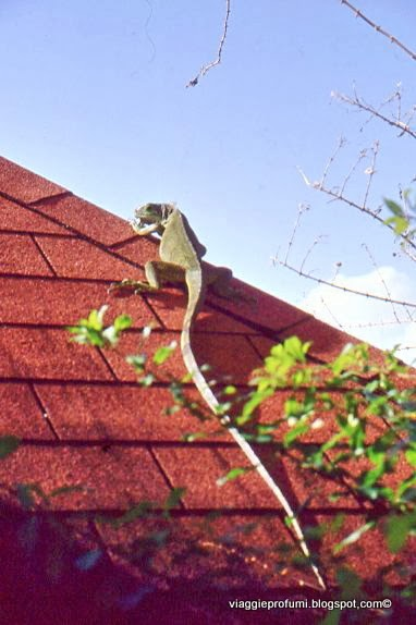iguana sul tetto