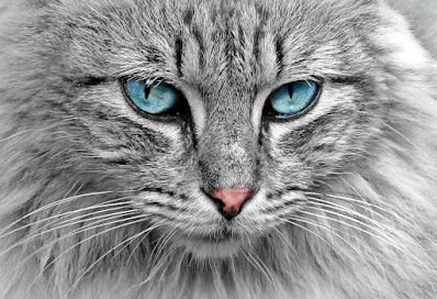 خلفيات جوال قطة بعيون زرقاء , قطة بشعر كثيف
