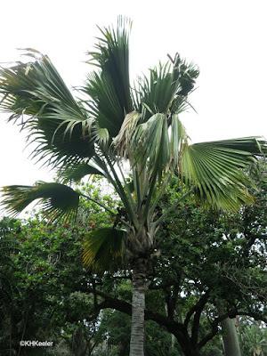 coco de mer, Lodioicea maldivica, Honolulu