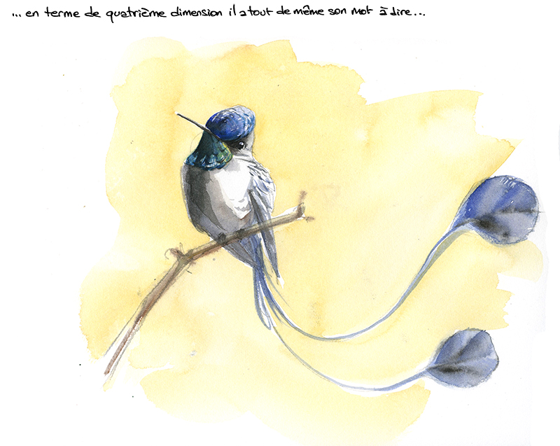 marvellous spatuletail, lodiggésie admirable, aquarelle