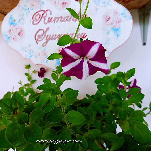 tips penjagaan pokok bunga pertunia