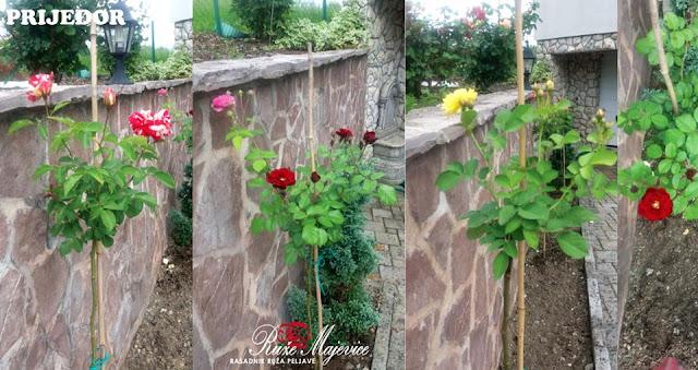 Prijedor, ruže stablašice