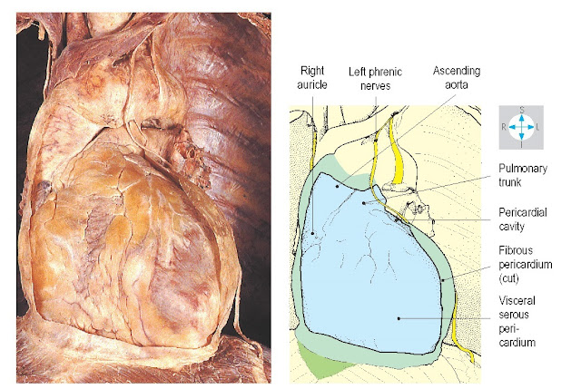 The fibrous pericardium has been opened to expose the visceral pericardium covering the anterior surface of the heart.