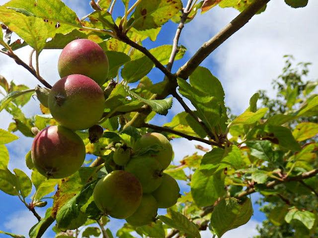 Apples grown from a pip