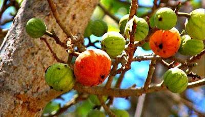 http://tipspetani.blogspot.com/2016/05/info-tentang-buah-tin-zaitun.html