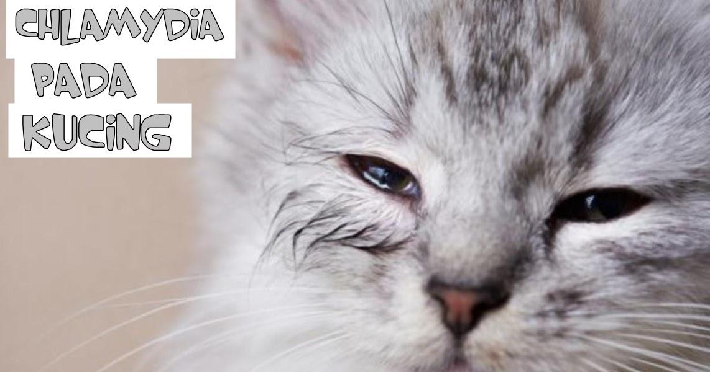 Penyakit Chlamydiosis Pada Kucing