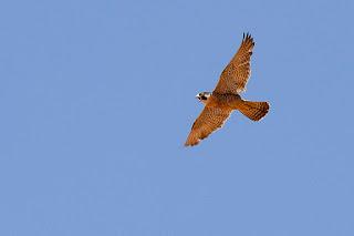 https://commons.wikimedia.org/wiki/File:Peregrine_falcon_in_North_Carolina.jpg