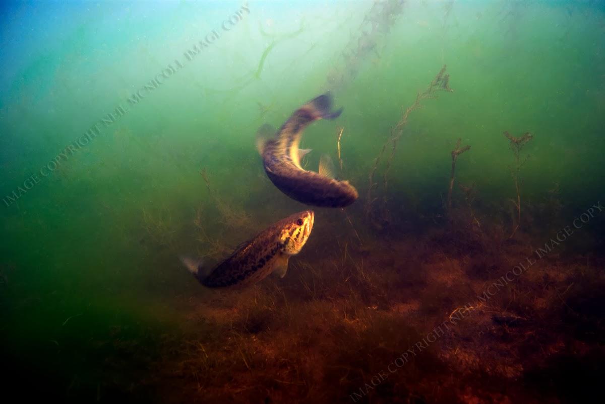 Micropterus salmoides breeding